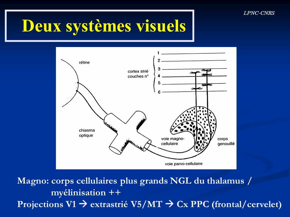 LPNC-CNRS Deux systèmes visuels Magno: corps cellulaires plus grands NGL du thalamus / myélinisation ++ Projections V1 extrastrié V5/MT Cx PPC (fronta