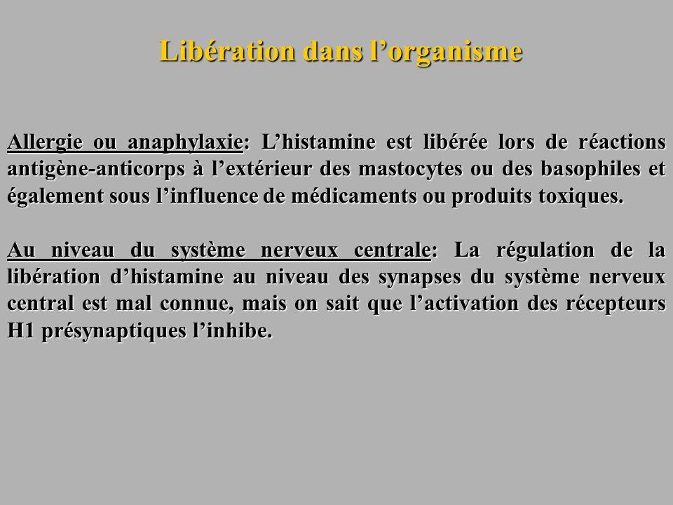 Libération dans lorganisme Allergie ou anaphylaxie: Lhistamine est libérée lors de réactions antigène-anticorps à lextérieur des mastocytes ou des bas