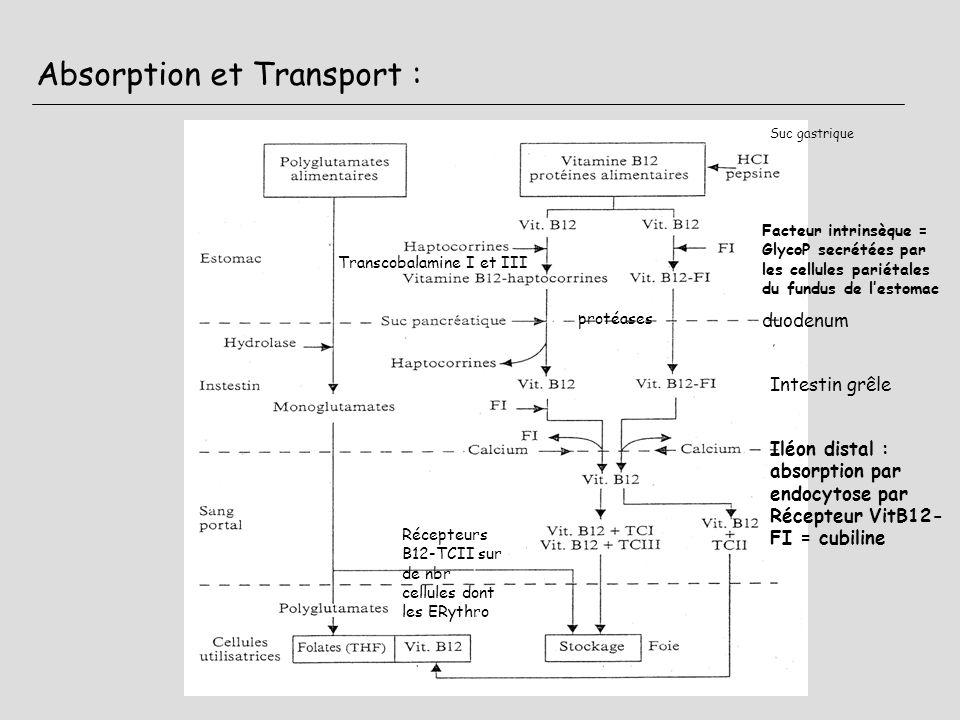 Absorption et Transport : Suc gastrique Facteur intrinsèque = GlycoP secrétées par les cellules pariétales du fundus de lestomac Transcobalamine I et