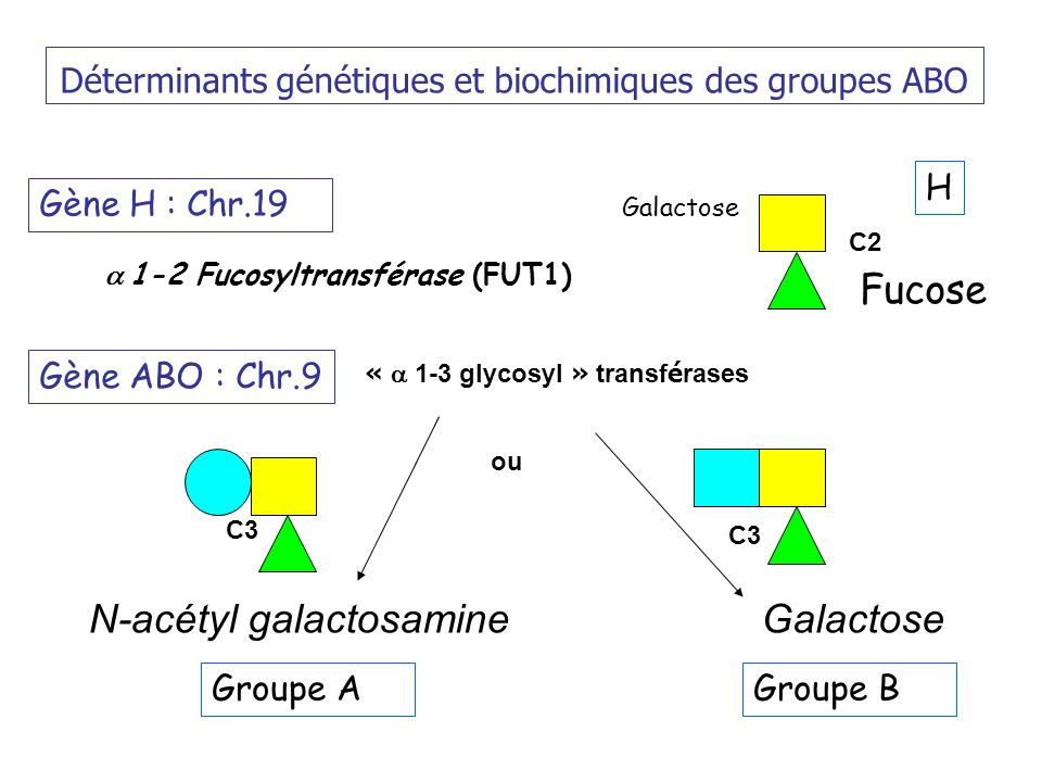 Déterminants génétiques et biochimiques des groupes ABO Gène ABO : Chr.9 Groupe A N-acétyl galactosamineGalactose Gène H : Chr.19 Fucose 1-2 Fucosyltransférase (FUT1) Galactose C2 « 1-3 glycosyl » transf é rases C3 ou H Groupe B