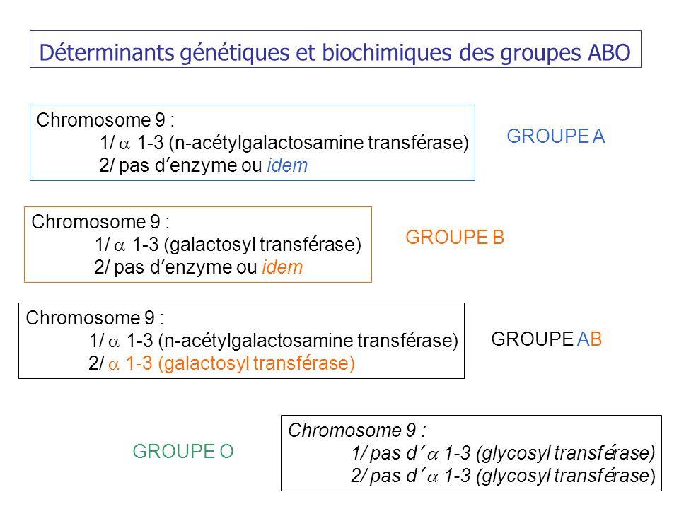 Déterminants génétiques et biochimiques des groupes ABO Chromosome 9 : 1/ 1-3 (n-ac é tylgalactosamine transf é rase) 2/ pas d enzyme ou idem Chromosome 9 : 1/ 1-3 (galactosyl transf é rase) 2/ pas d enzyme ou idem GROUPE A GROUPE B Chromosome 9 : 1/ 1-3 (n-ac é tylgalactosamine transf é rase) 2/ 1-3 (galactosyl transf é rase) GROUPE AB Chromosome 9 : 1/ pas d 1-3 (glycosyl transf é rase) 2/ pas d 1-3 (glycosyl transf é rase) GROUPE O