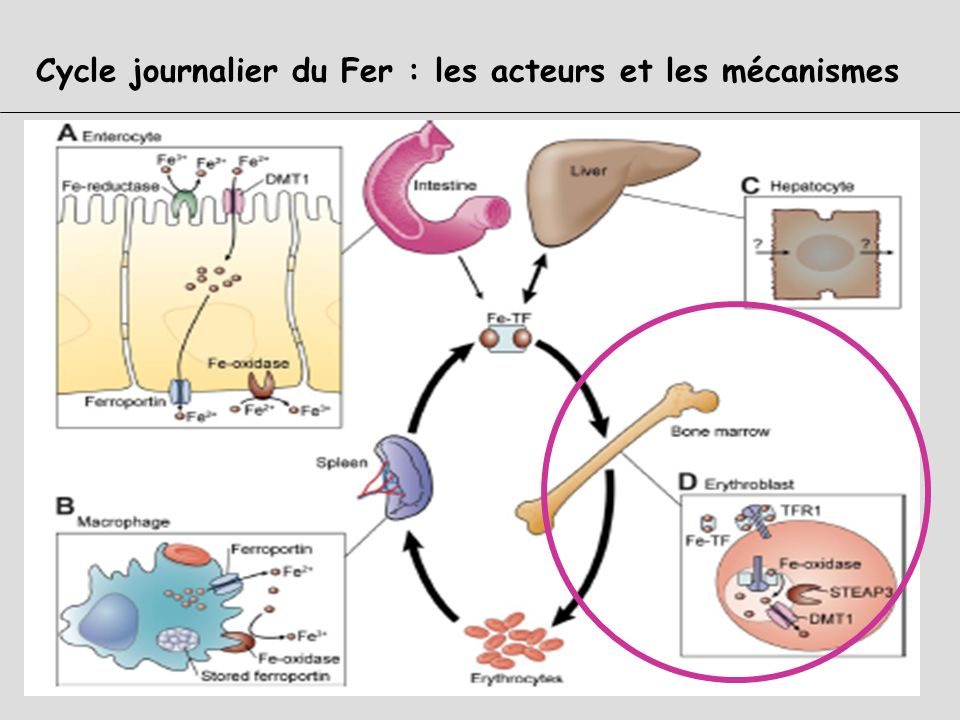 TRANSFERRINE ( Sidérophiline) : rôles majeurs Transport sanguin du Fer Capte le Fer : apporté par labsorption intestinale du SRH (via macrophages) apr