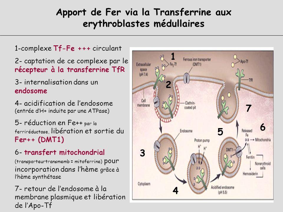 Récepteur à la TRANSFERRINE : Structure et rôle Structure : Glycoprotéine 760 AA Forme intra membranaire : Ubiquitaire (sauf GR matures) RTf1 : érytro