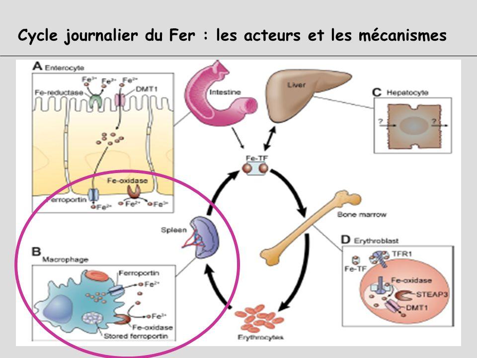 1-complexe Tf-Fe +++ circulant 2- captation de ce complexe par le récepteur à la transferrine TfR 3- internalisation dans un endosome 4- acidification