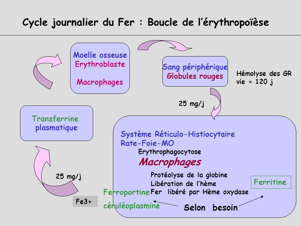 Cycle journalier du Fer : les acteurs et les mécanismes