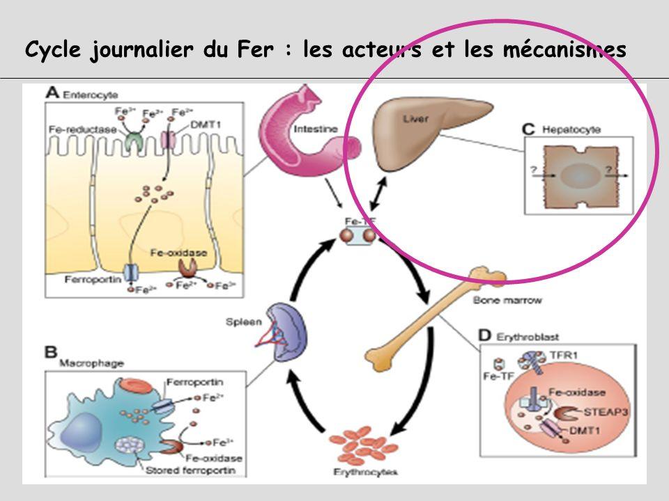 Fe3+ Système Réticulo-Histiocytaire Rate-Foie-MO Erythrophagocytose Macrophages Protéolyse de la globine Libération de lhème Fer libéré par Hème oxyda