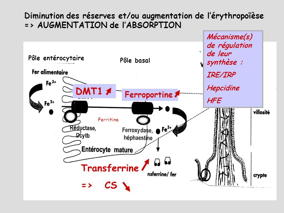 DMT1 Ferroportine Transferrine => CS Ferritine Pôle entérocytaire Pôle basal Diminution des réserves et/ou augmentation de lérythropoïèse => AUGMENTAT