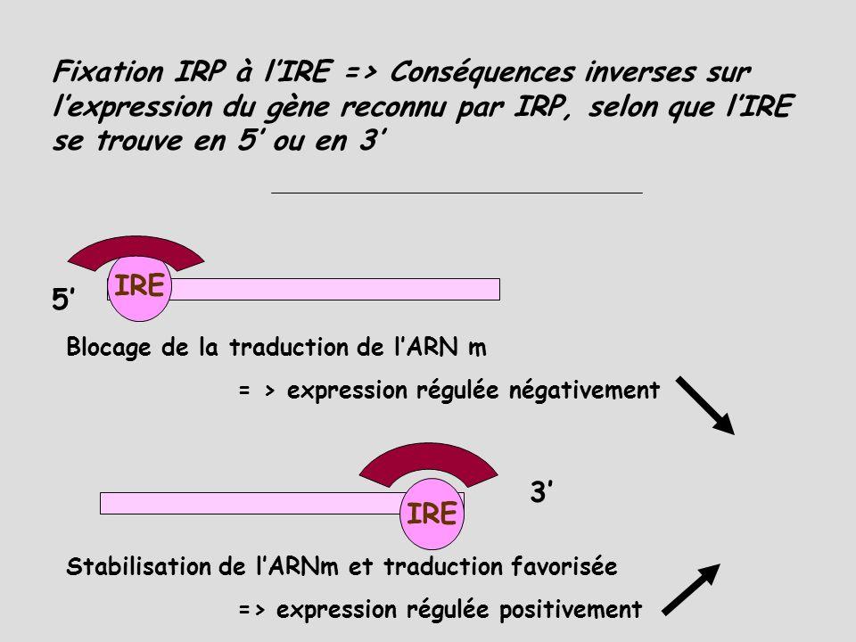 Régulation INTRACELLULAIRE de lhoméostasie du Fer : système IRP/IRE IRE = Iron Regulatory Element séquence nucléique présente en 5 exemplaires en 5 ou