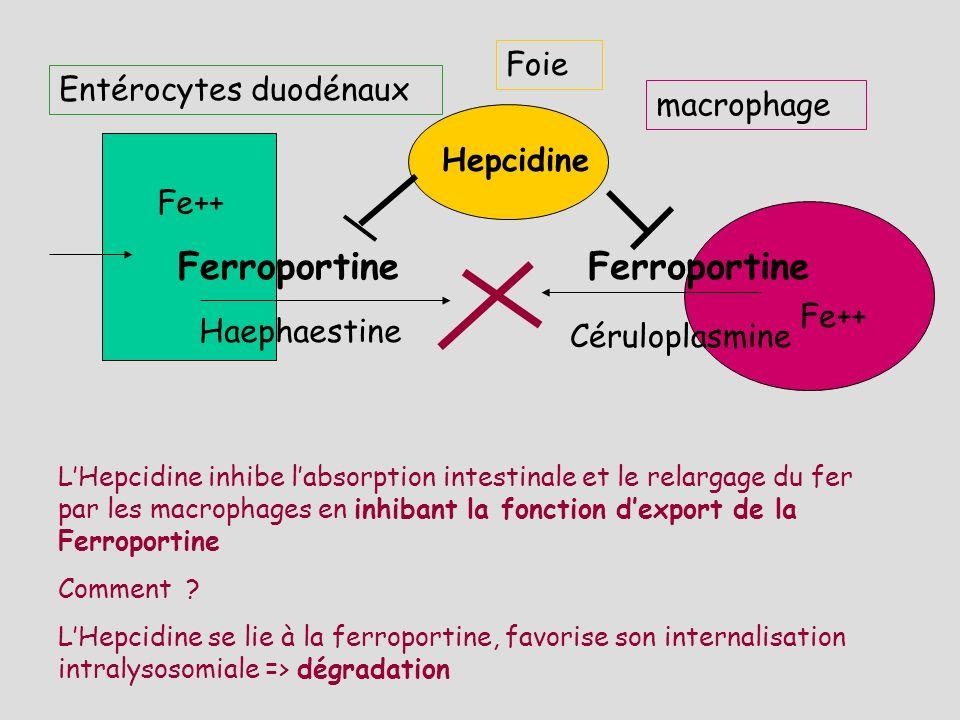 Entérocytes duodénaux Fe++ Ferroportine macrophage Haephaestine Fe+++ Ferroportine Céruloplasmine TF-FE+++ ApoTF