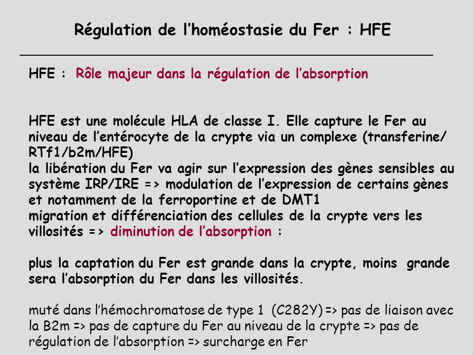 Holotransferrine * Senseur des réserves ou des besoins = Fer circulant lié à la transferrine Rôle dans la régulation de lexpression de lHepcidine Réce