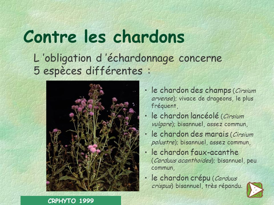 CRPHYTO 1999 Contre les rumex Principalement Rumex à feuilles obtuses* (Rumex obtusifolius) Rumex crépu* (Rumex crispus) Accessoirement Rumex oseille