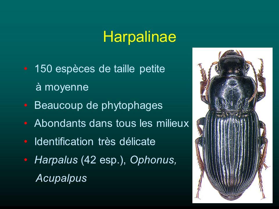 Harpalinae 150 espèces de taille petite à moyenne Beaucoup de phytophages Abondants dans tous les milieux Identification très délicate Harpalus (42 es