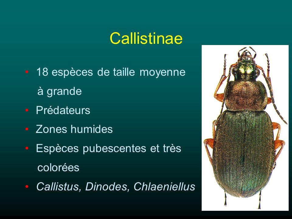 Callistinae 18 espèces de taille moyenne à grande Prédateurs Zones humides Espèces pubescentes et très colorées Callistus, Dinodes, Chlaeniellus