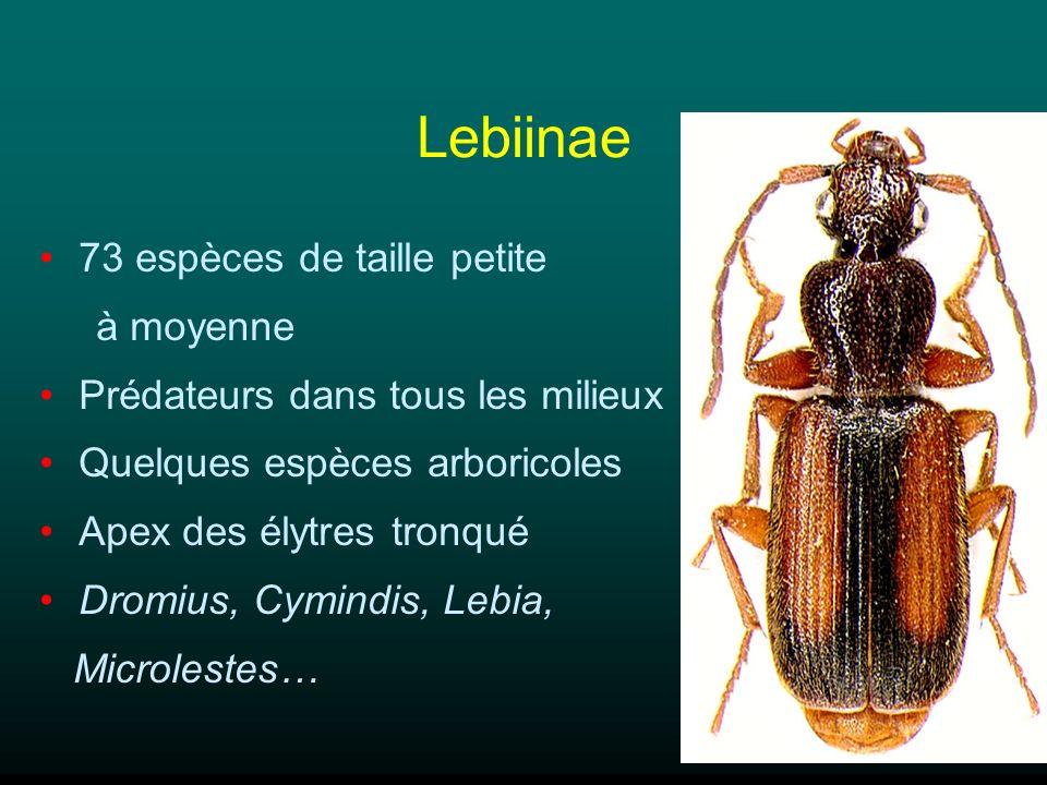 Lebiinae 73 espèces de taille petite à moyenne Prédateurs dans tous les milieux Quelques espèces arboricoles Apex des élytres tronqué Dromius, Cymindi