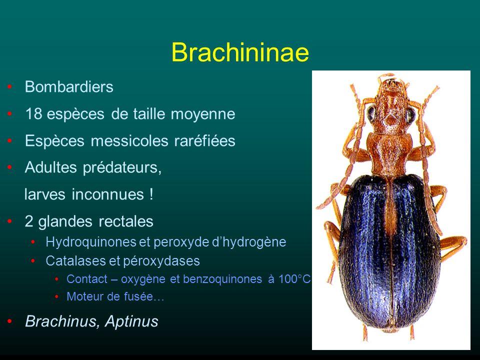 Brachininae Bombardiers 18 espèces de taille moyenne Espèces messicoles raréfiées Adultes prédateurs, larves inconnues ! 2 glandes rectales Hydroquino