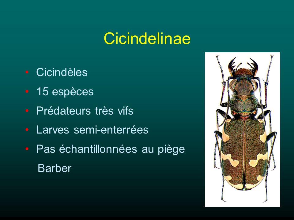 Cicindelinae Cicindèles 15 espèces Prédateurs très vifs Larves semi-enterrées Pas échantillonnées au piège Barber