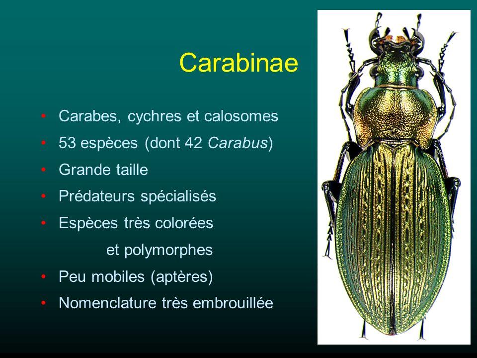 Carabinae Carabes, cychres et calosomes 53 espèces (dont 42 Carabus) Grande taille Prédateurs spécialisés Espèces très colorées et polymorphes Peu mob