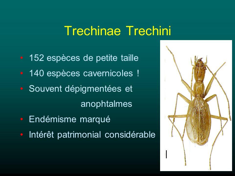 Trechinae Trechini 152 espèces de petite taille 140 espèces cavernicoles ! Souvent dépigmentées et anophtalmes Endémisme marqué Intérêt patrimonial co