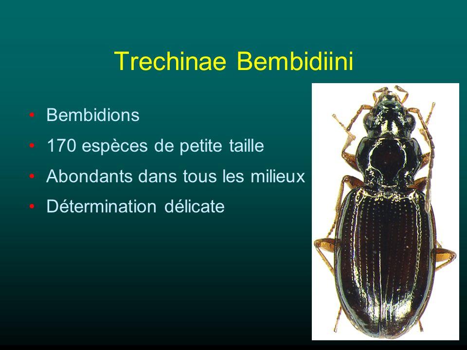 Pterostichinae Pterostichini 110 espèces Taille moyenne à grande Prédateurs abondants dans tous les milieux Beaucoup despèces montagnardes Poecilus, Abax, Pterostichus (75 esp.)