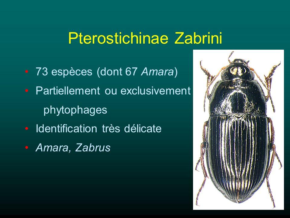 Pterostichinae Zabrini 73 espèces (dont 67 Amara) Partiellement ou exclusivement phytophages Identification très délicate Amara, Zabrus