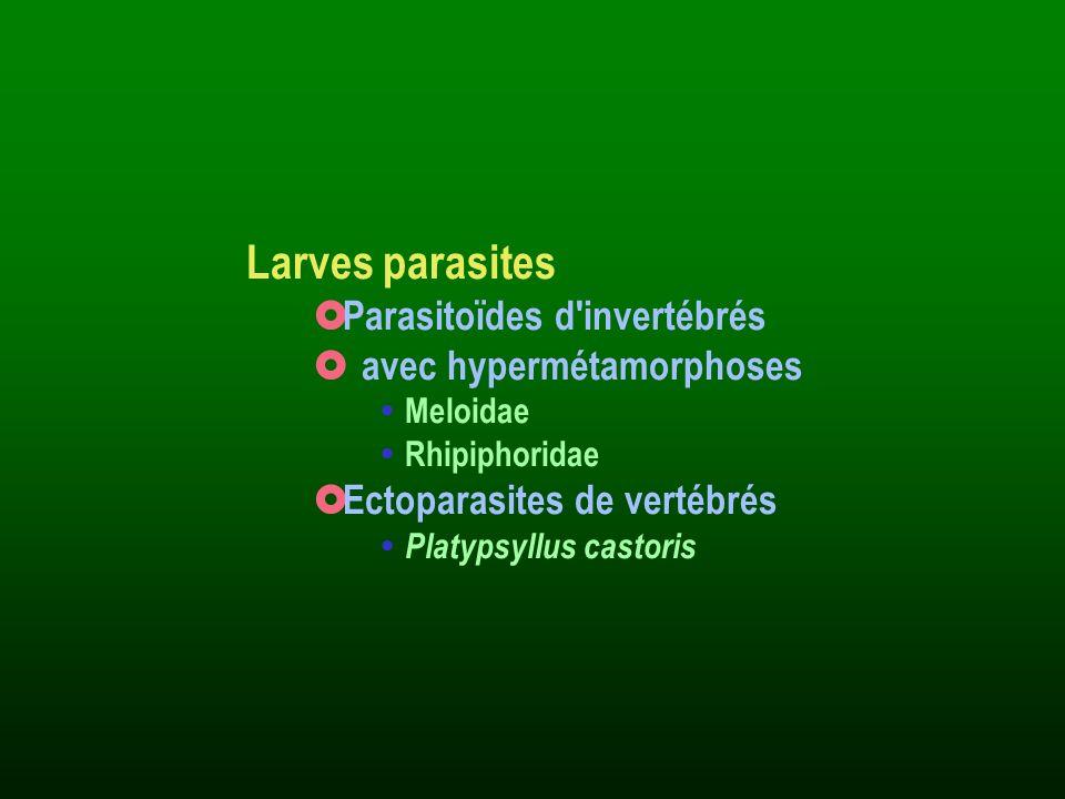 Larves parasites Parasitoïdes d'invertébrés avec hypermétamorphoses Meloidae Rhipiphoridae Ectoparasites de vertébrés Platypsyllus castoris