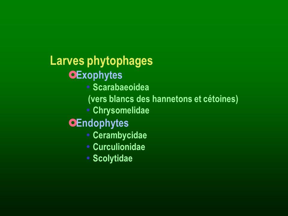 Larves phytophages Exophytes Scarabaeoidea (vers blancs des hannetons et cétoines) Chrysomelidae Endophytes Cerambycidae Curculionidae Scolytidae