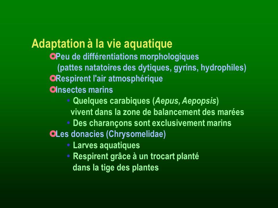 Adaptation à la vie aquatique Peu de différentiations morphologiques (pattes natatoires des dytiques, gyrins, hydrophiles) Respirent l'air atmosphériq