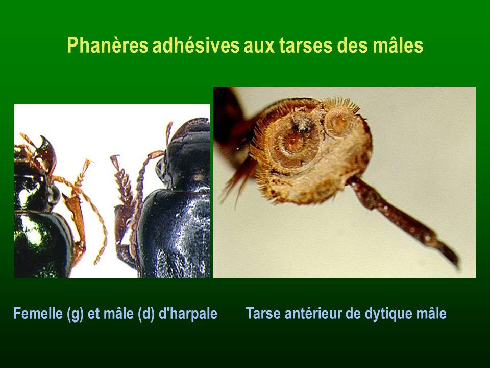 Phanères adhésives aux tarses des mâles Tarse antérieur de dytique mâle Femelle (g) et mâle (d) d'harpale