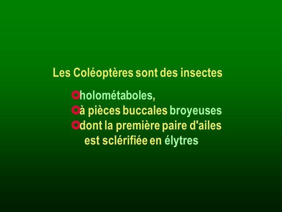 Les Coléoptères sont des insectes holométaboles, à pièces buccales broyeuses dont la première paire d'ailes est sclérifiée en élytres