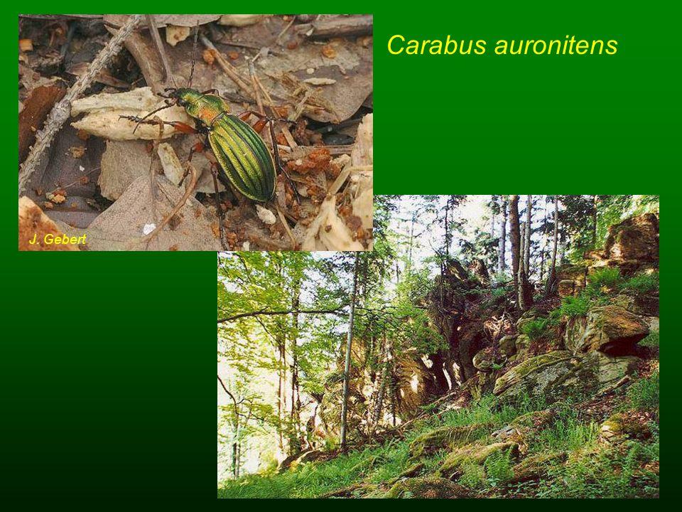 Carabus auronitens J. Gebert