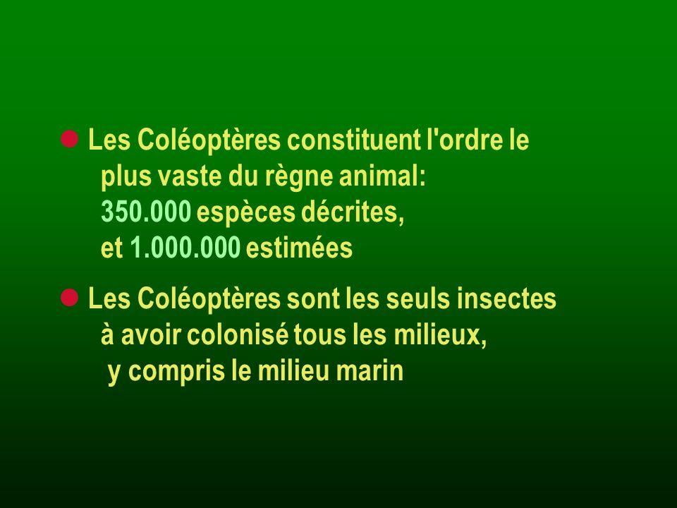 Systématique des Coléoptères Elle est basée sur la morphologie: des antennes, des tarses, de l abdomen, du thorax, des larves Elle reconnaît aujourd hui 206 familles