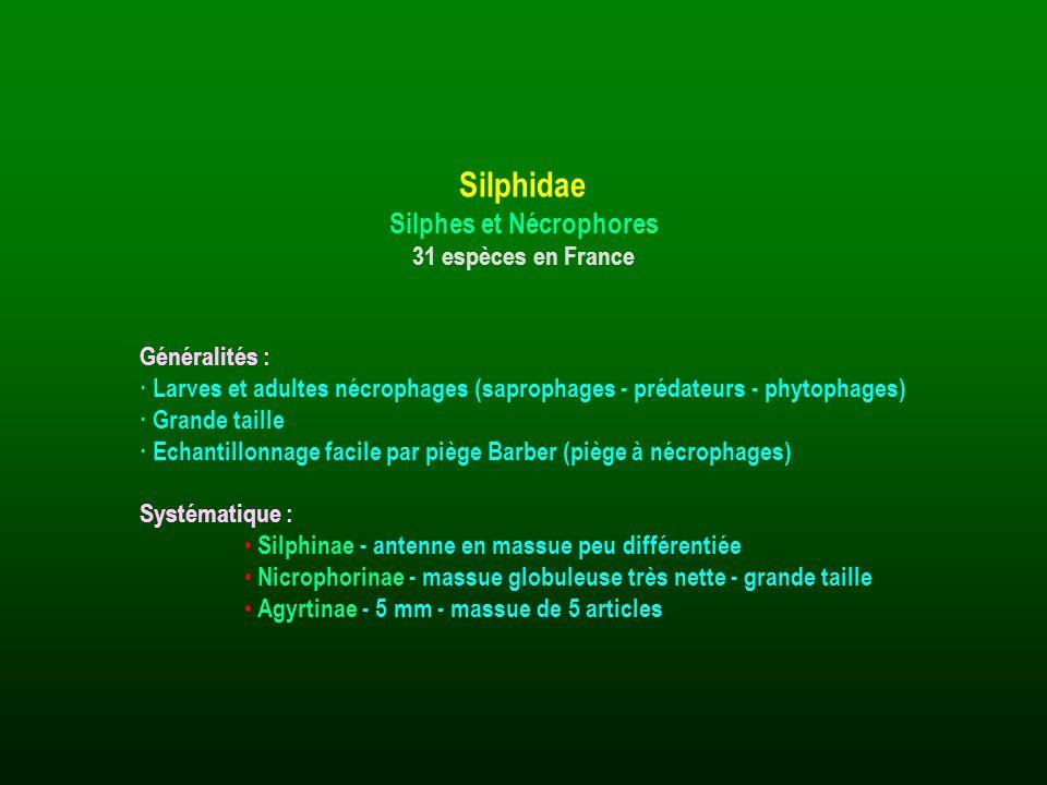 Généralités : · Larves et adultes nécrophages (saprophages - prédateurs - phytophages) · Grande taille · Echantillonnage facile par piège Barber (pièg
