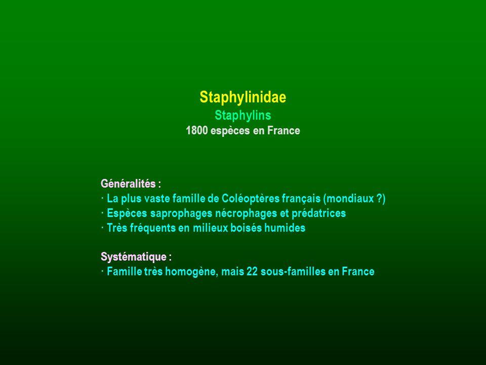 Généralités : · La plus vaste famille de Coléoptères français (mondiaux ?) · Espèces saprophages nécrophages et prédatrices · Très fréquents en milieu