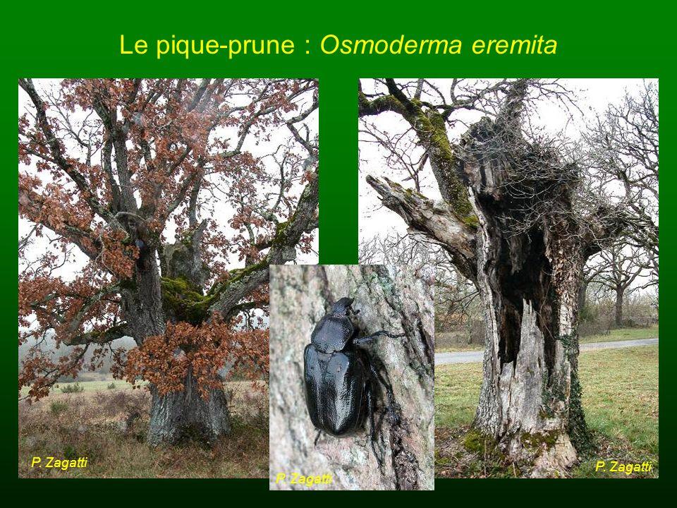 Le pique-prune : Osmoderma eremita P. Zagatti