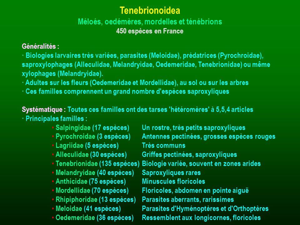 Généralités : · Biologies larvaires très variées, parasites (Meloidae), prédatrices (Pyrochroidae), saproxylophages (Alleculidae, Melandryidae, Oedeme
