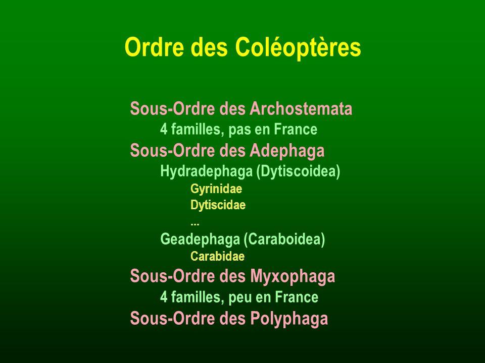 Sous-Ordre des Archostemata 4 familles, pas en France Sous-Ordre des Adephaga Hydradephaga (Dytiscoidea) Gyrinidae Dytiscidae... Geadephaga (Caraboide