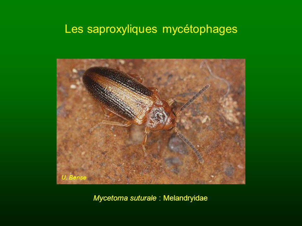 Les saproxyliques mycétophages U. Bense Mycetoma suturale : Melandryidae
