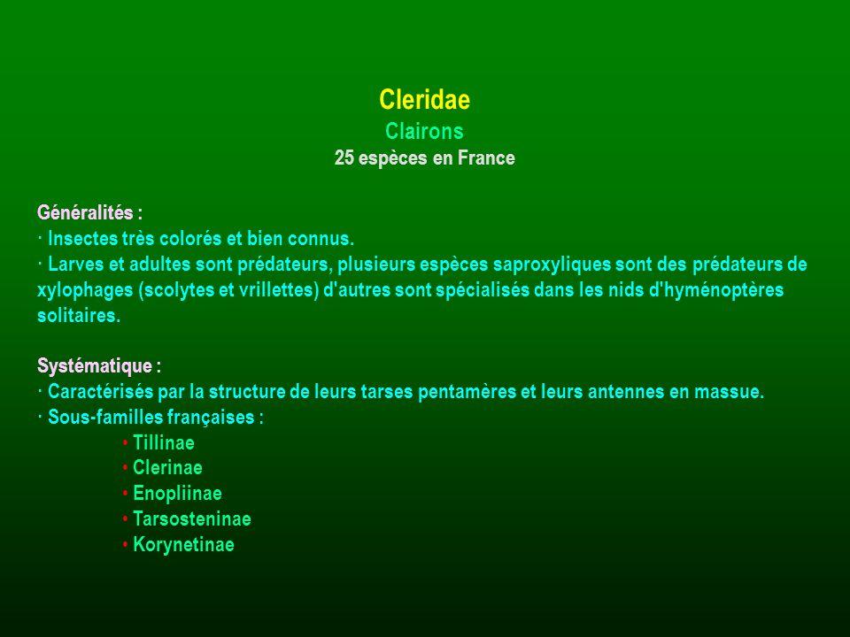 Généralités : · Insectes très colorés et bien connus. · Larves et adultes sont prédateurs, plusieurs espèces saproxyliques sont des prédateurs de xylo