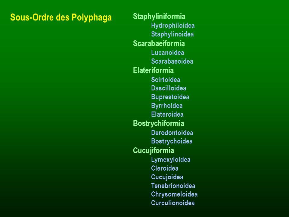 Sous-Ordre des Polyphaga Staphyliniformia Hydrophiloidea Staphylinoidea Scarabaeiformia Lucanoidea Scarabaeoidea Elateriformia Scirtoidea Dascilloidea