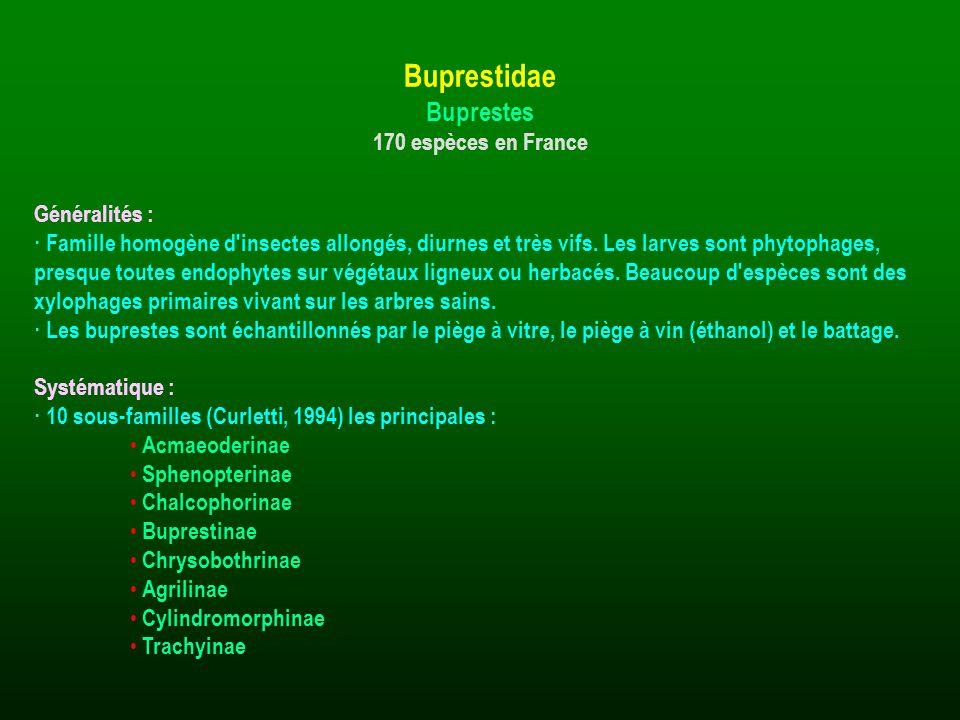 Généralités : · Famille homogène d'insectes allongés, diurnes et très vifs. Les larves sont phytophages, presque toutes endophytes sur végétaux ligneu