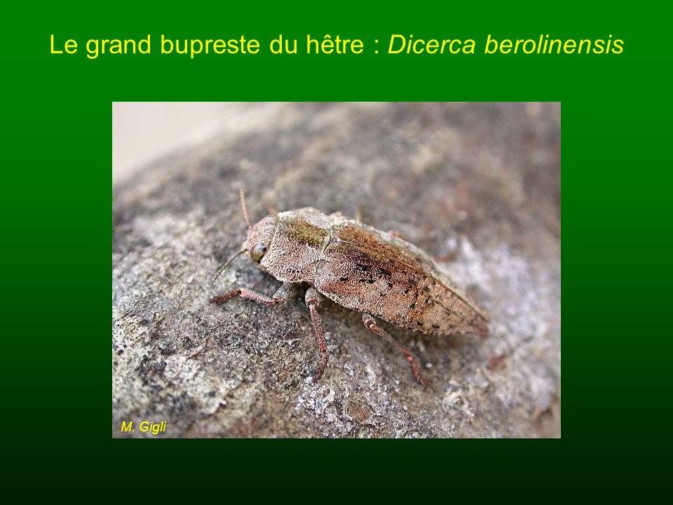 Le grand bupreste du hêtre : Dicerca berolinensis M. Gigli