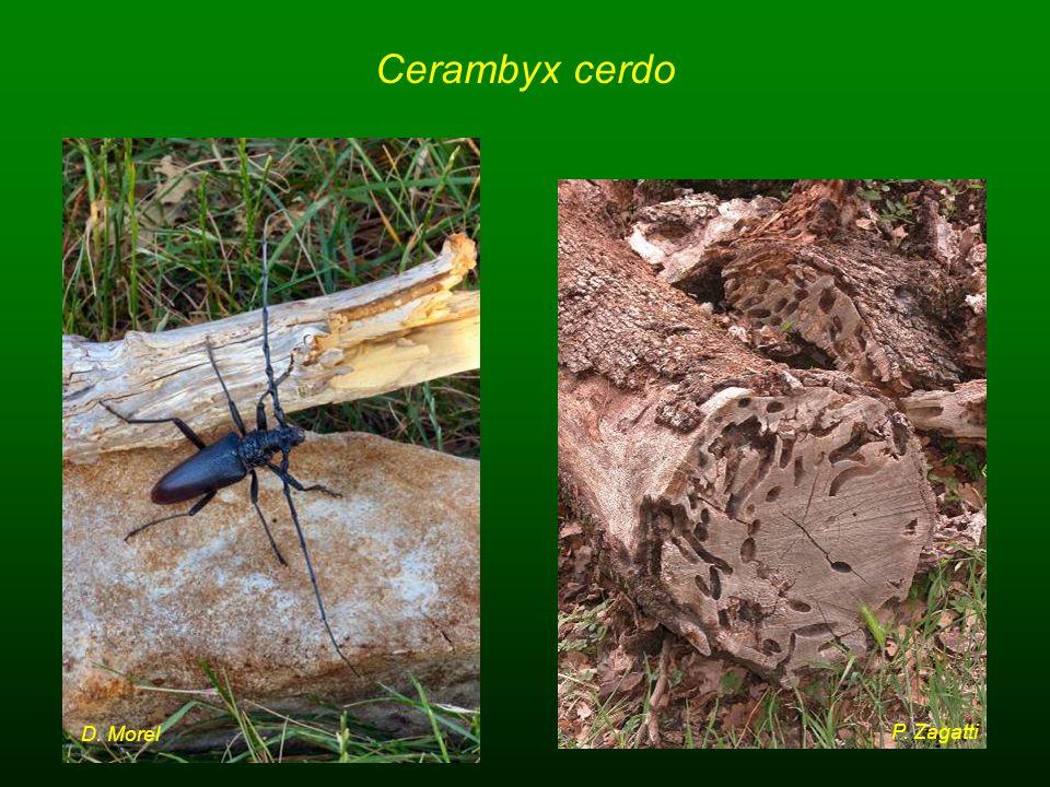 Cerambyx cerdo D. Morel P. Zagatti