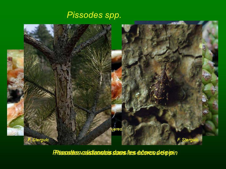 Pissodes spp. J. Pajares Pissodes validirostris dans les cônes de pin F. Stergulc Pissodes castaneus sous les écorces de pin