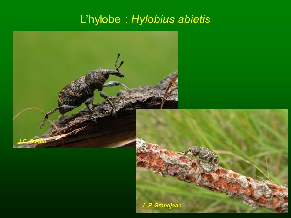 Lhylobe : Hylobius abietis J.C. Schou H.E. Linskog J.-P. Grandjean