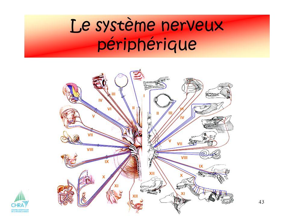 43 Le système nerveux périphérique