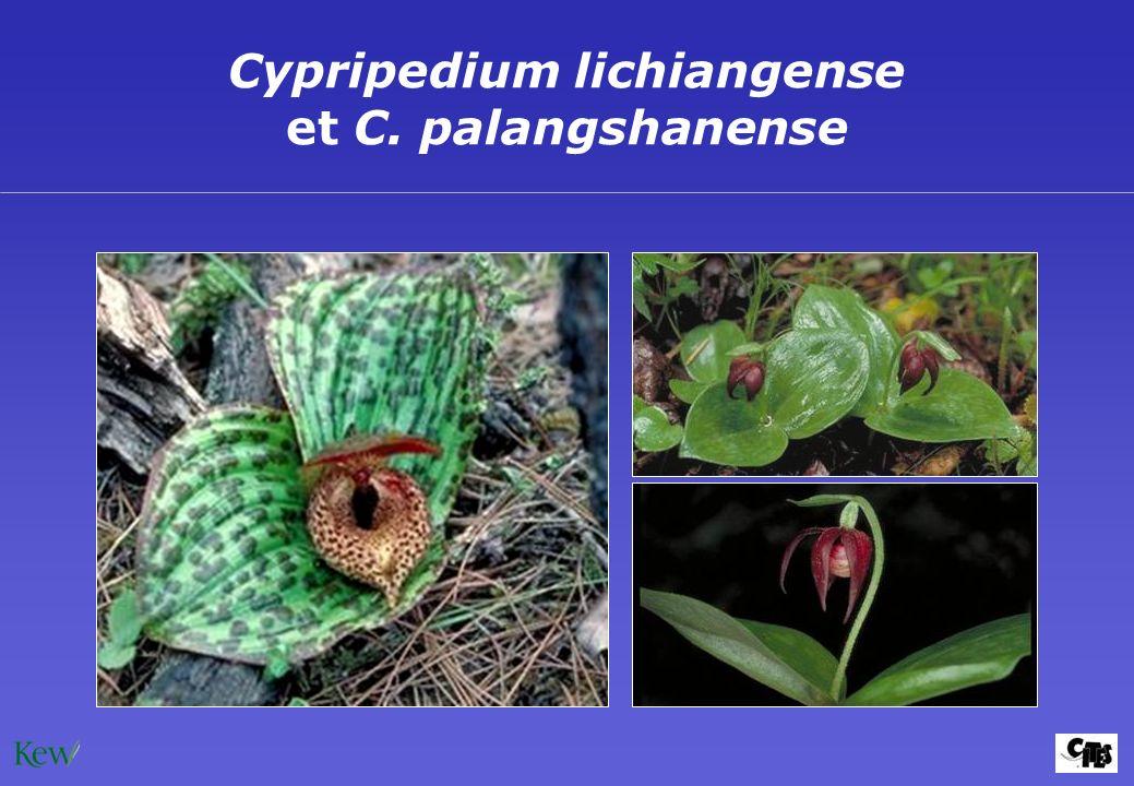 Cypripedium lichiangense et C. palangshanense