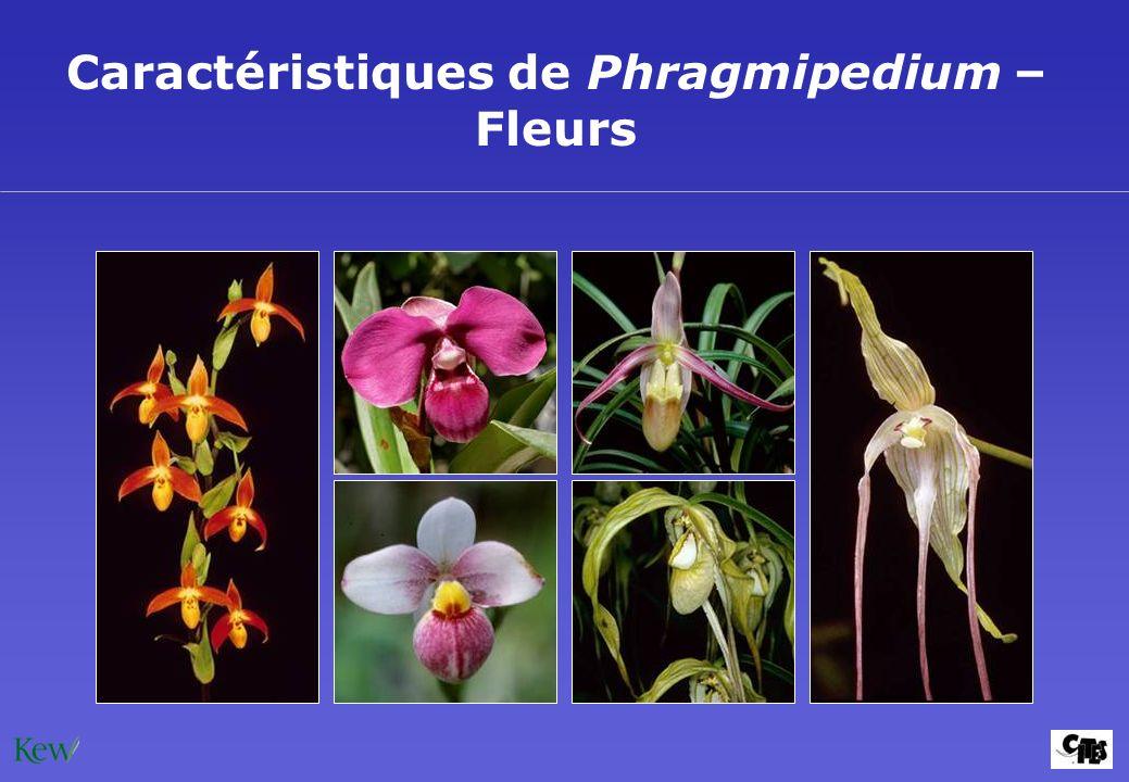 Caractéristiques de Phragmipedium – Fleurs