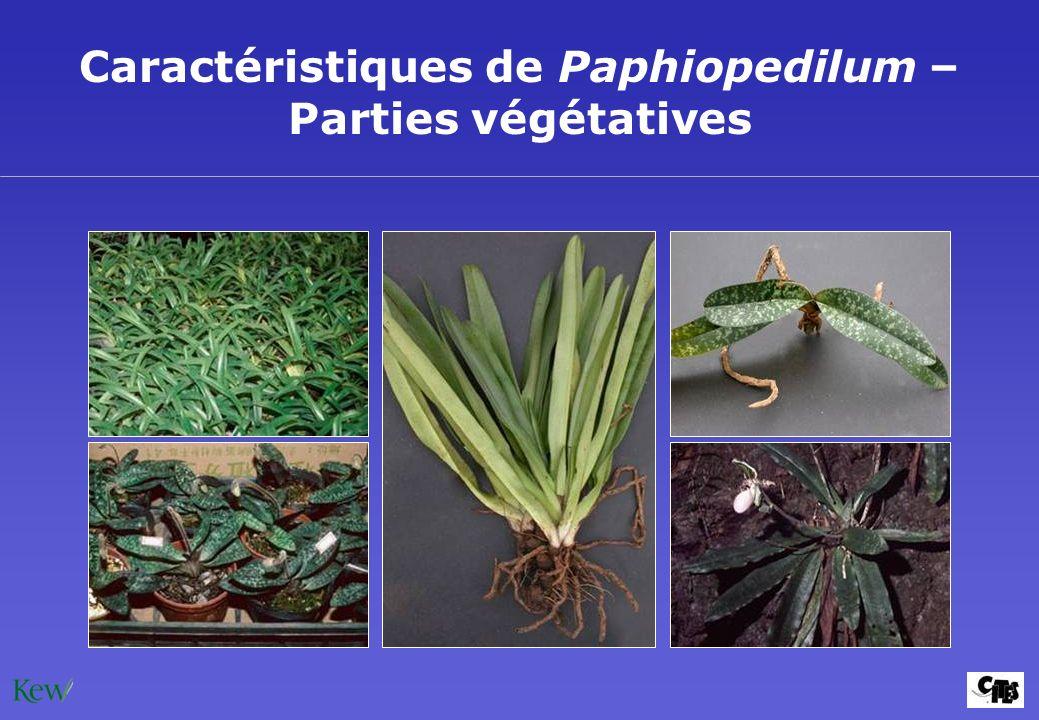Caractéristiques de Paphiopedilum – Parties végétatives