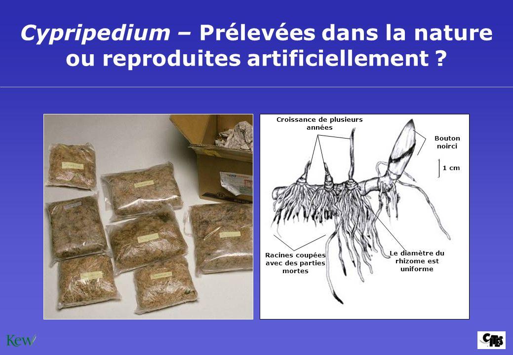 Cypripedium – Prélevées dans la nature ou reproduites artificiellement ? Croissance de plusieurs années Bouton noirci 1 cm Racines coupées avec des pa