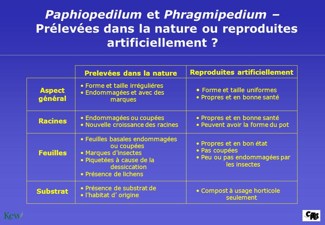Paphiopedilum et Phragmipedium – Prélevées dans la nature ou reproduites artificiellement ? Endommagées ou coupées Nouvelle croissance des racines Asp